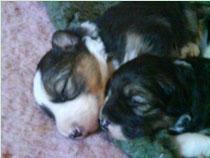 Puppies, 2 weeks old