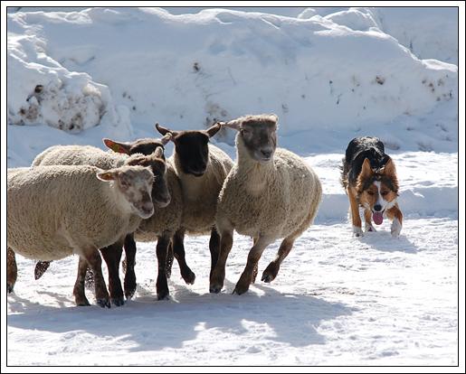 Nya får